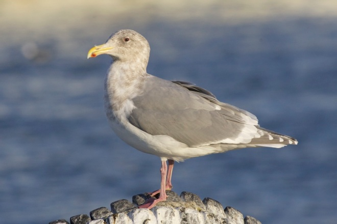 Adult sea gull agree, this