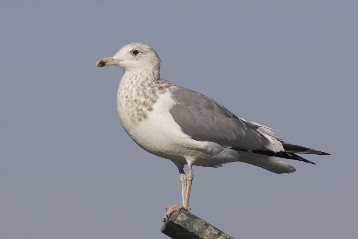 Vega Gulls – Birding Beijing 北京观鸟
