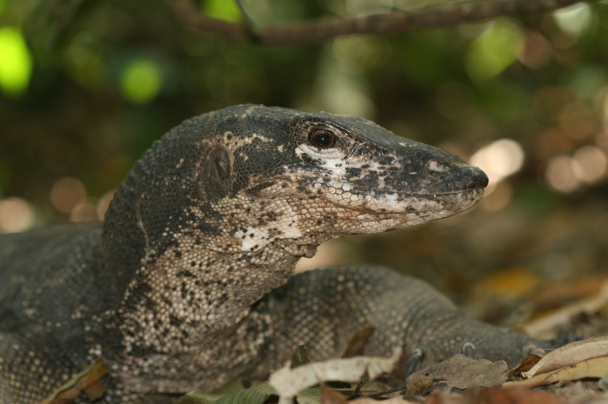 peacock monitor lizard