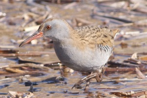Water Rail sp, Olympic Forest Park, Beijing.  Note the relatively plain face pattern, restricted barring on the flanks and grey (not grey-brown) underparts.