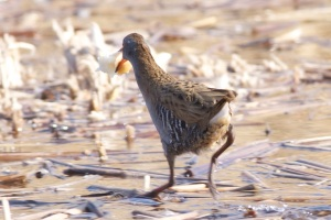Western Water Rail, Olympic Forest Park, February 2012.  Note the unmarked undertail coverts.