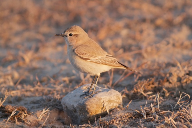 Isabelline Wheatear, Wild Duck Lake, Beijing, 5 April 2012.