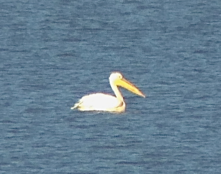 Pelican sp, Miyun Reservoir, 5 October 2014.