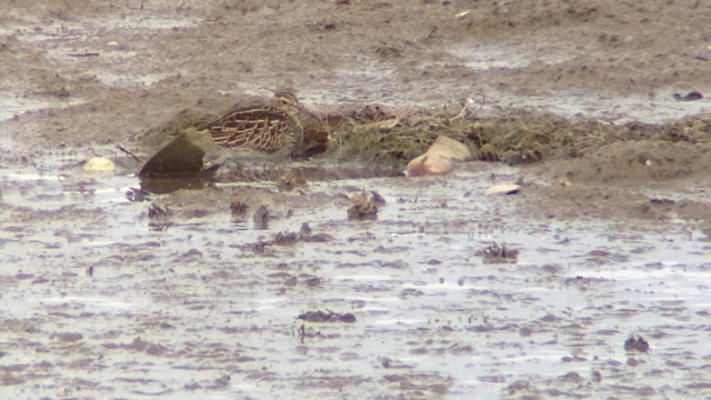 Juvenile PECTORAL SANDPIPER, Miyun Reservoir 12 October 2014.  The second record for Beijing. Found by Paul Holt.