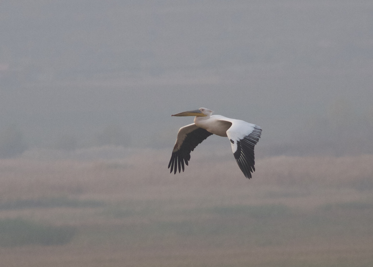 The GREAT WHITE PELICAN was still at Miyun Reservoir on 22 October.