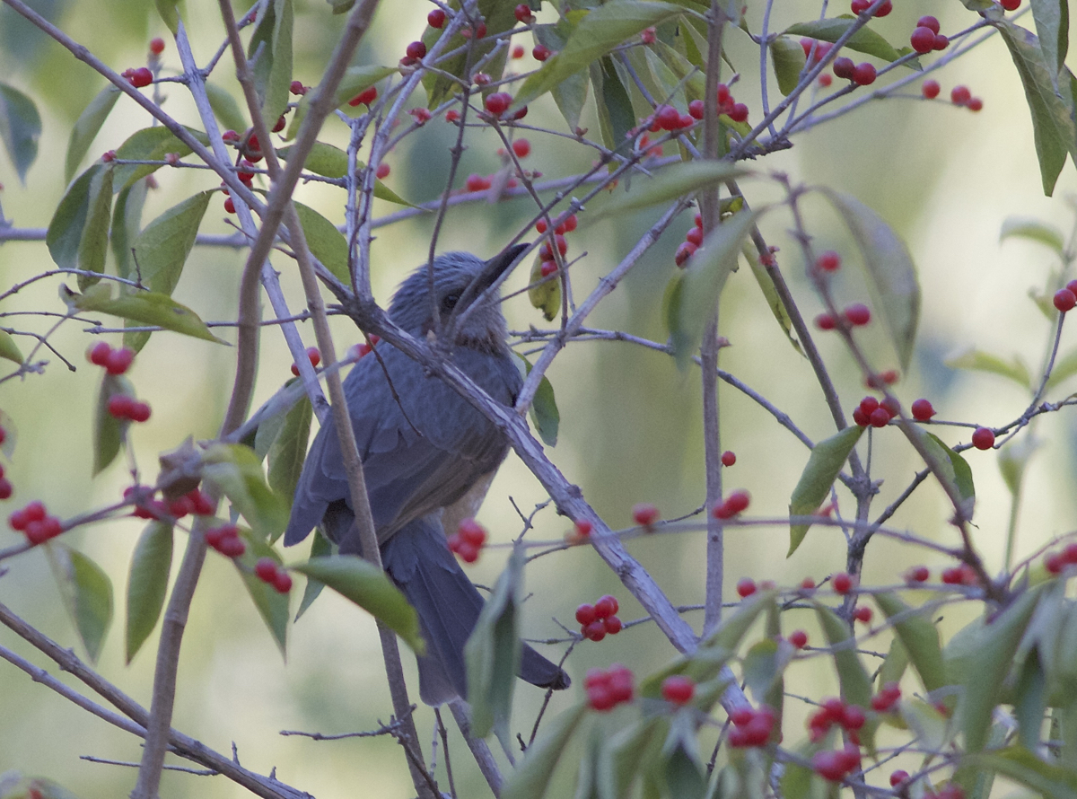 Brown-eared Bulbul, Yuanmingyuan Park, 2 November 2014