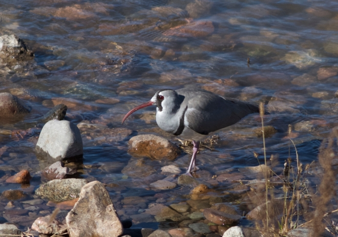 Ibisbill, Chao He Bridge, near Taishitun, 3 November 2014