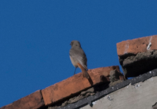Black Redstart, Lingshan, 9 November 2014. Possibly only the second record for Beijing.