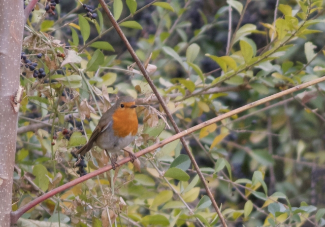 EUROPEAN ROBIN, Temple of Heaven, 11 November 2014