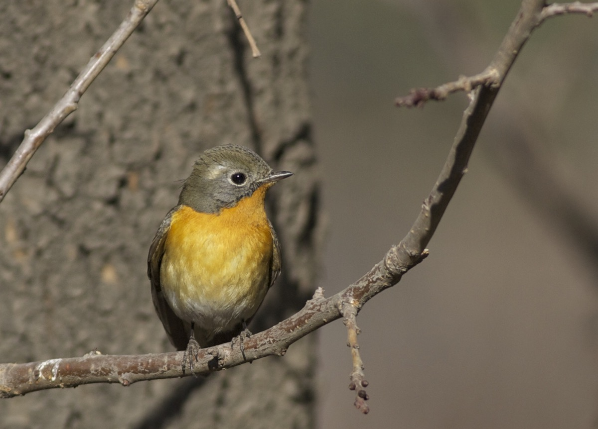 First winter male MUGIMAKI FLYCATCHER, Temple of Heaven Park