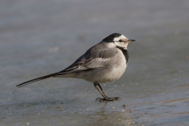 2015-01-16 White Wagtail ssp lugens, Agricultural Exhibition Centre