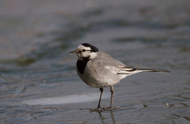 2015-01-16 White Wagtail ssp lugens, Agricultural Exhibition Centre2