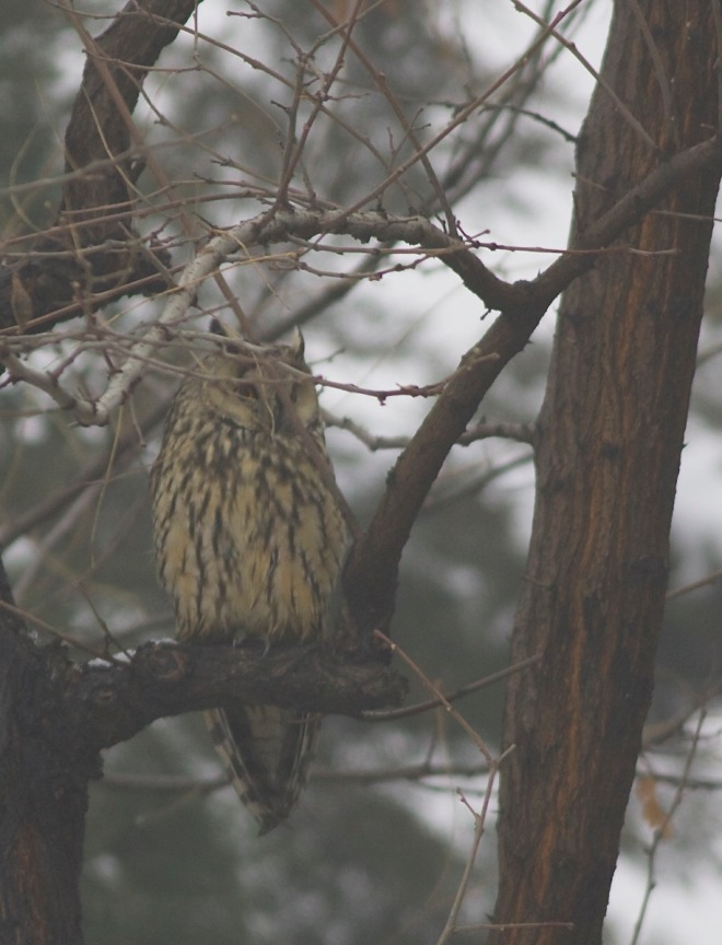 2015-02-21 Long-eared Owl, Nanhaizi