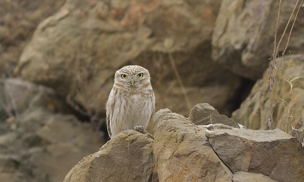 LITTLE OWL, Houbajiazhuang, Miyun Reservoir.