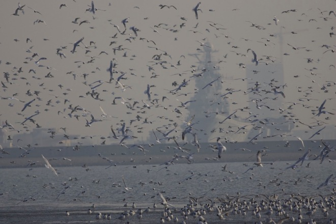 10,000 RELICT GULLS and an aircraft carrier, Hangu, Tianjin.