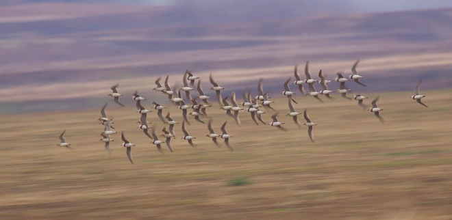 ORIENTAL PLOVERS, Miyun Reservoir, 11 April 2015. This flock dropped in just ahead of a thunderstorm and the majority left immediately afterwards!
