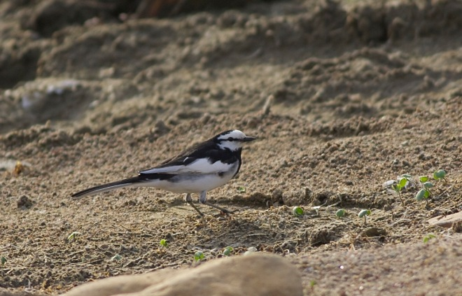 2015-04-19 White Wagtail ssp lugens adult male, Miyun3
