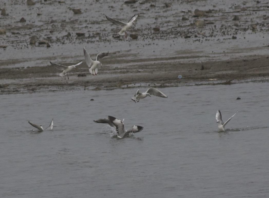 2cy Brown-headed Gull with Black-headed Gulls, Miyun Reservoir, 23 April 2015