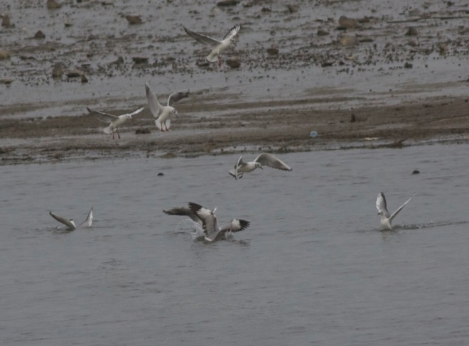 2cy Brown-headed Gull with Black-headed Gulls, Miyun Reservoir, 23 April 2015