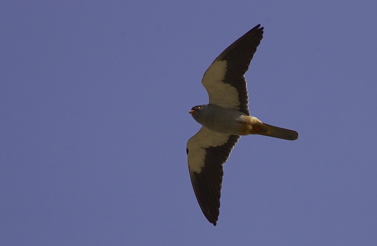 Male AMUR FALCON. One of 63 through Miyun Reservoir on 11 May 2015.