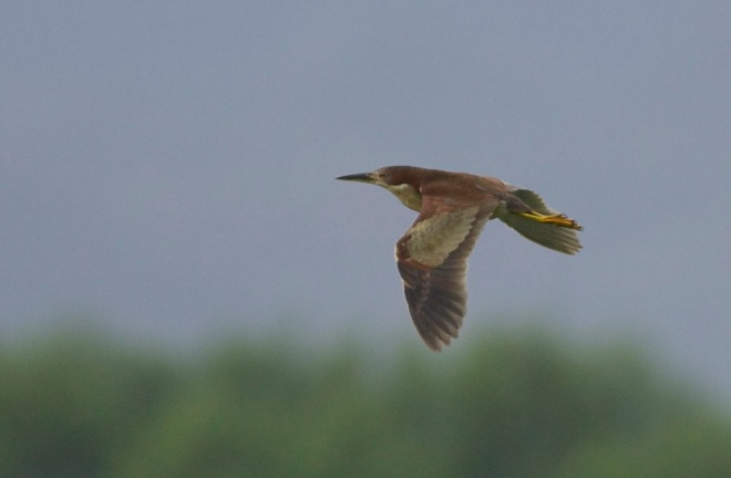 This male SCHRENCK'S BITTERN was singing at Yeyahu NR on the morning of 13 June 2015.