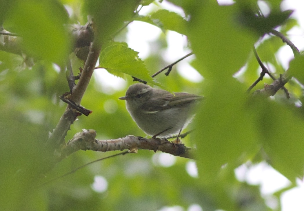 GREENISH WARBLER ssp obscuratus. The first record for Beijing.