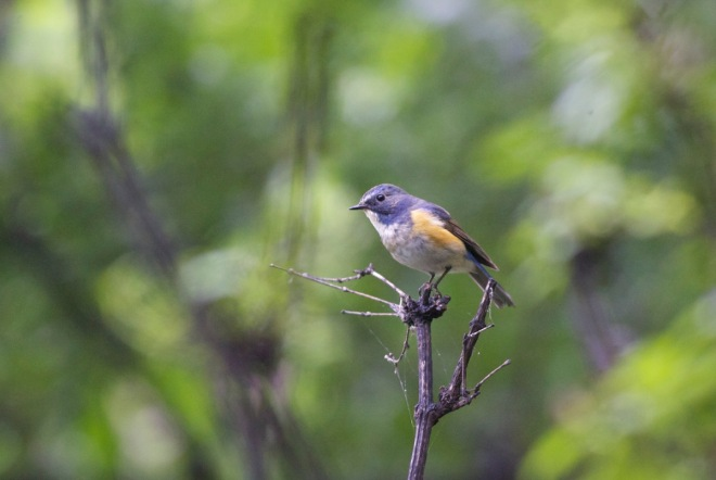 RED-FLANKED BLUETAIL, Lingshan. First found breeding in Beijing in 2014.