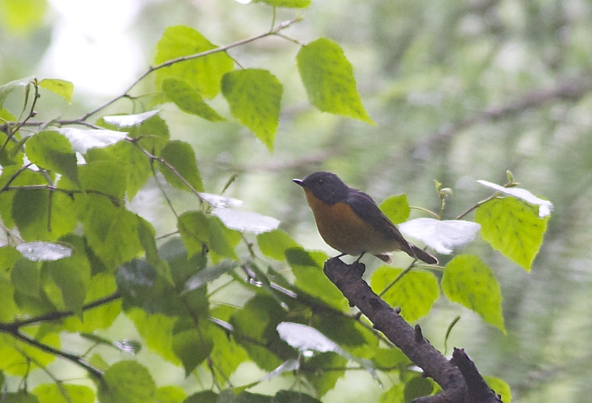 SLATY-BACKED FLYCATCHER, Lingshan. The second record for Beijing (the first was in June 2005).