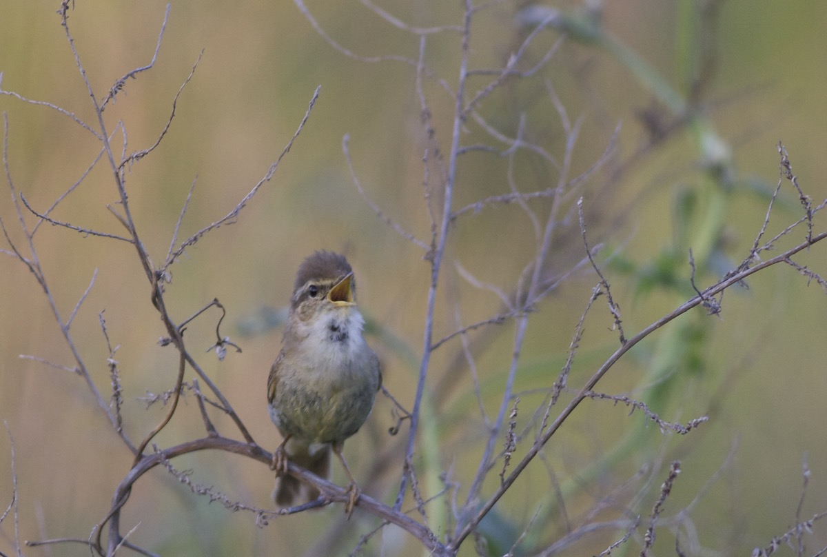 Another photo of the YELLOW-STREAKED WARBLER at Shunyi.