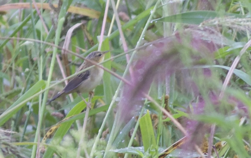 Pallas's Grasshopper Warbler, Miyun Reservoir, 30 August 2015