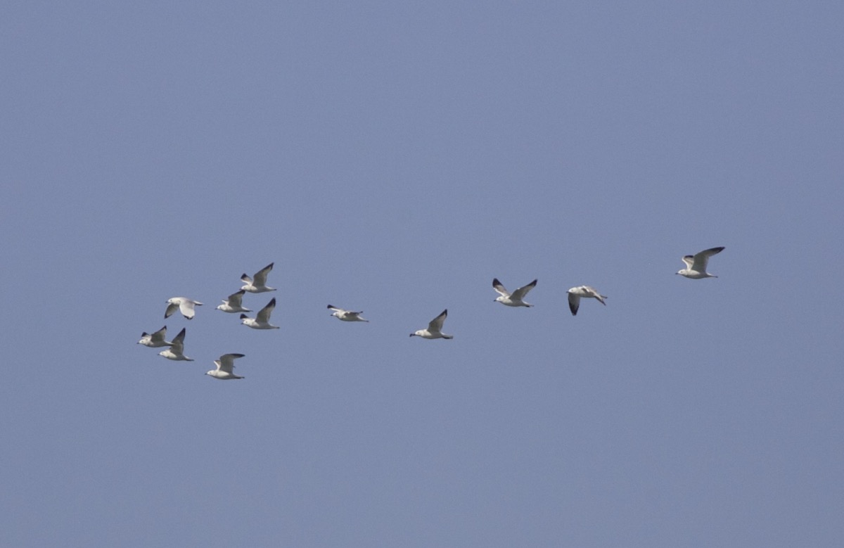 RELICT GULLS, Miyun Reservoir. Autumn records are scarce in the capital.