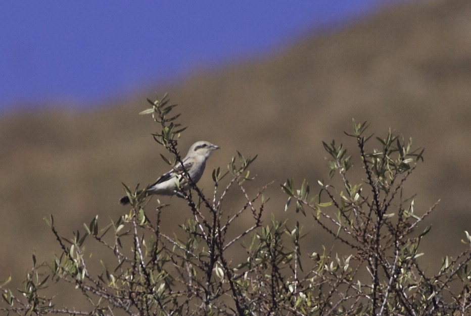 2015-10-31 Great Grey Shrike ssp sibiricus 1w, Lingshan