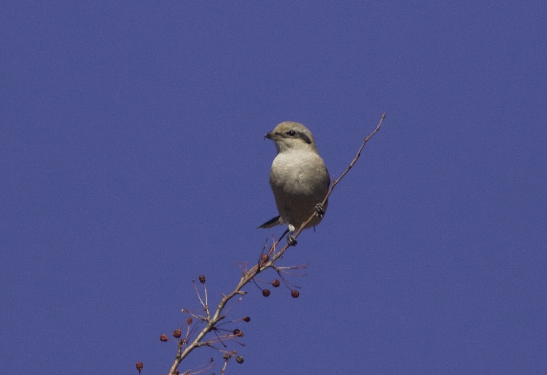 2015-10-31 Great Grey Shrike ssp sibiricus 1w, Lingshan4