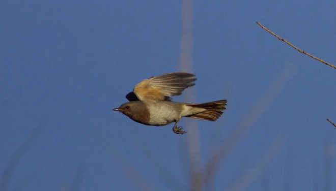 2015-11-01 Red-throated Thrush male in flight, Lingshan2
