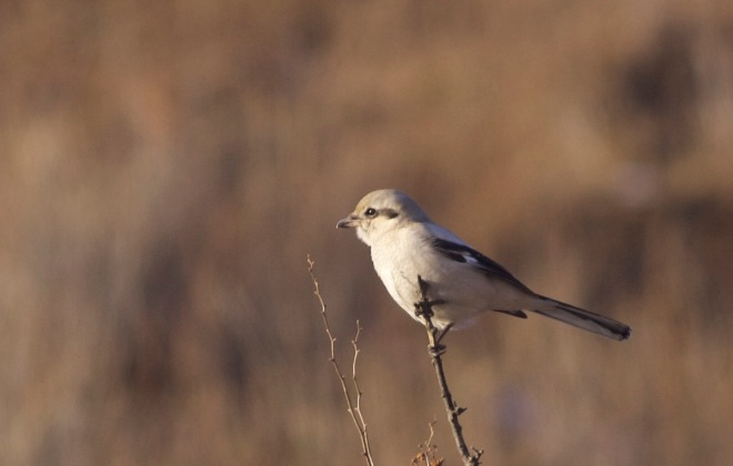 2015-11-09 Great Grey Shrike ssp sibiricus, Lingshan9