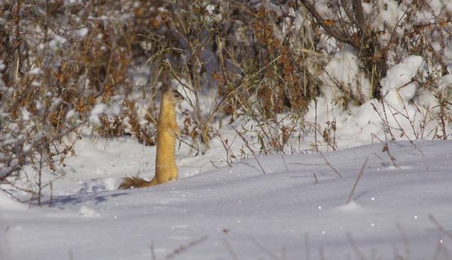 2015-11-09 weasel sp, Lingshan3