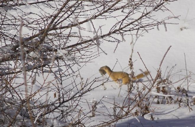 2015-11-09 weasel sp, Lingshan4