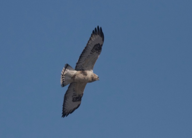 2015-11-26 Rough-legged Buzzard4, Shunyi