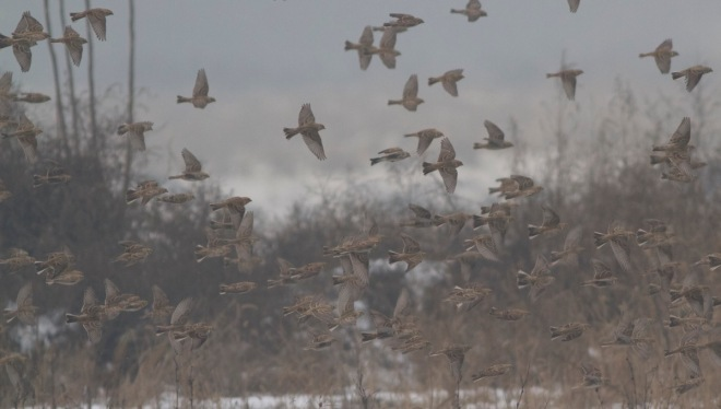 2015-11-28 Lapland Buntings flock in flight, Wenyu He2