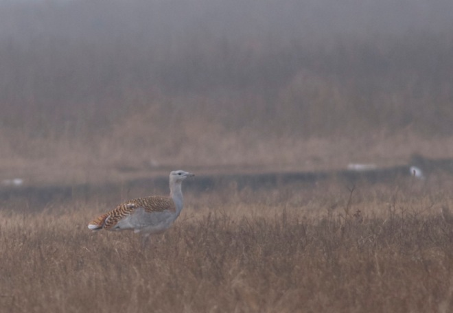 GREAT BUSTARD, the world's heaviest flying bird, is a regular, but scarce, visitor to Beijing, mostly in late Autumn and early Spring but a few overwinter.