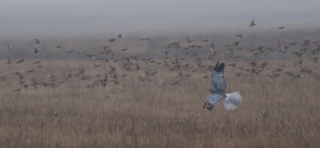 2015-11-30 Hen Harrier hunting Lapland Buntings