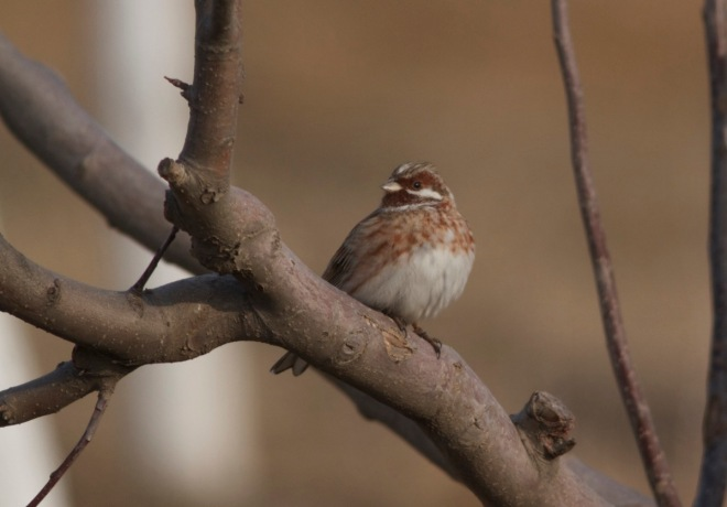 One of the 150+ PINE BUNTINGS near Yanqing on Saturday 30 January. This one an adult male.
