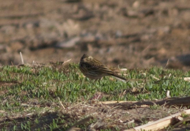 2016-04-09 Meadow Pipit, Ma Chang1