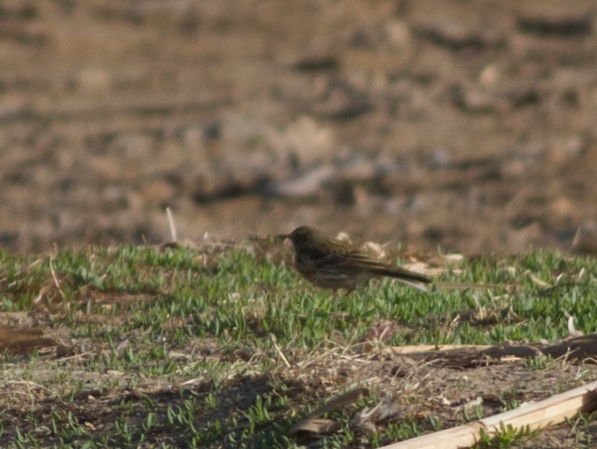 2016-04-09 Meadow Pipit, Ma Chang3