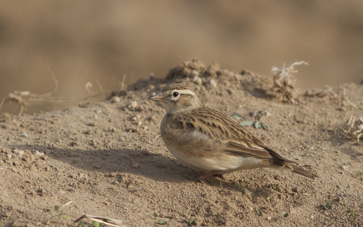 This GREATER SHORT-TOED LARK was one of 41 at Ma Chang today.