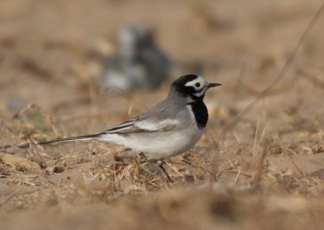 2016-04-10 White Wagtail ssp personata first summer male, Ma Chang