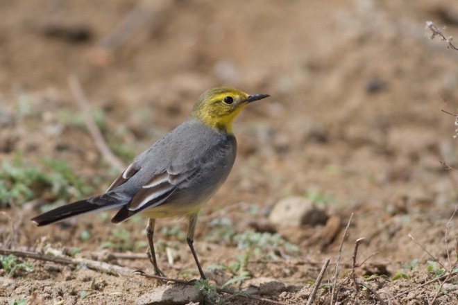 2016-04-16 Citrine Wagtail female, Ma Chang2