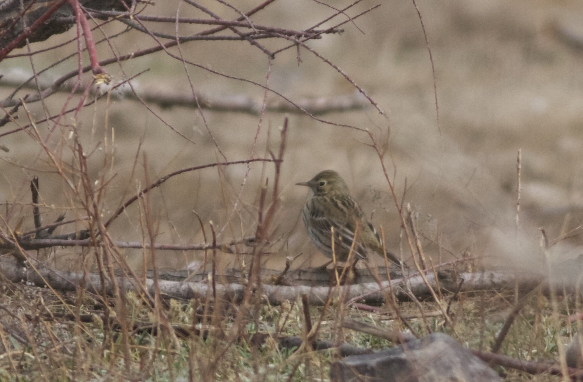 2016-04-16 Meadow Pipit, Ma Chang7