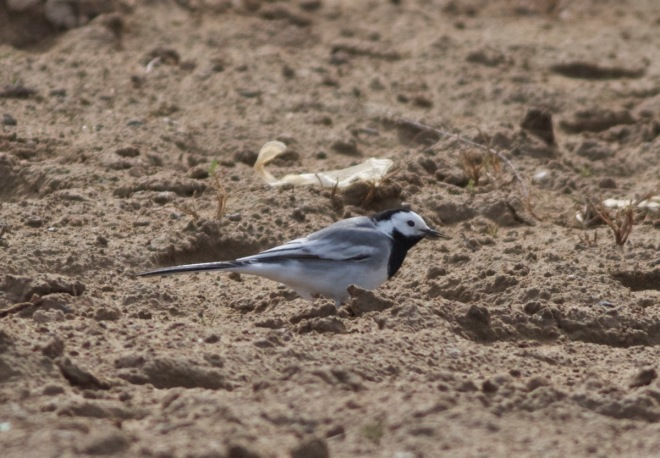 2016-04-16 White Wagtail ssp alba?3, Ma Chang