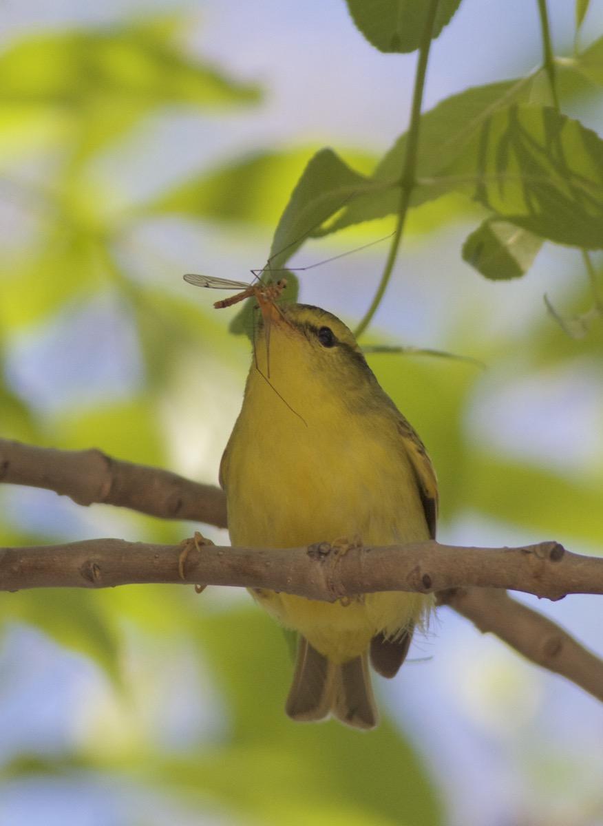 2016-04-28 Sulphur-breasted Leaf Warbler, Nanpu6